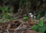 덩굴꽃마리